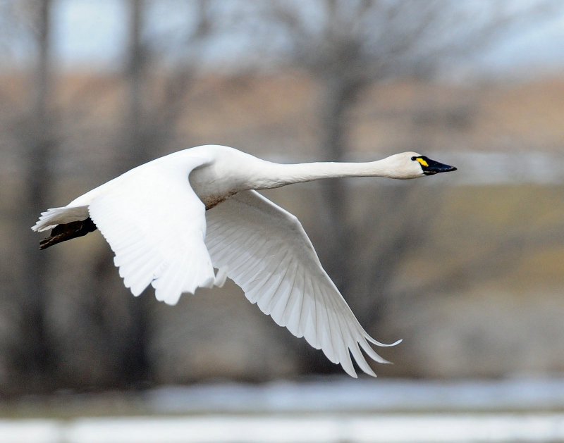 Swan Tundra D-118.jpg