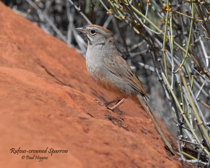 Sparrows, Rufous-crowned