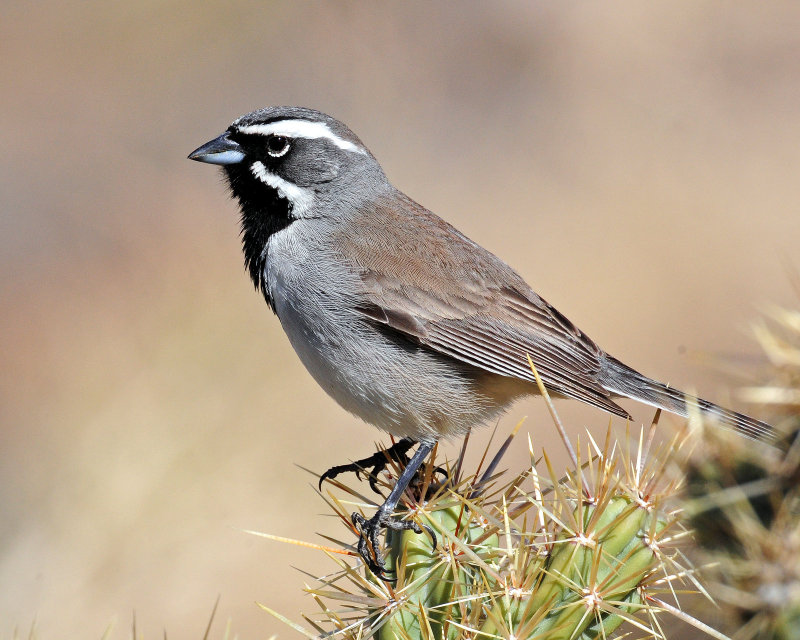 Sparrows, Black-throated
