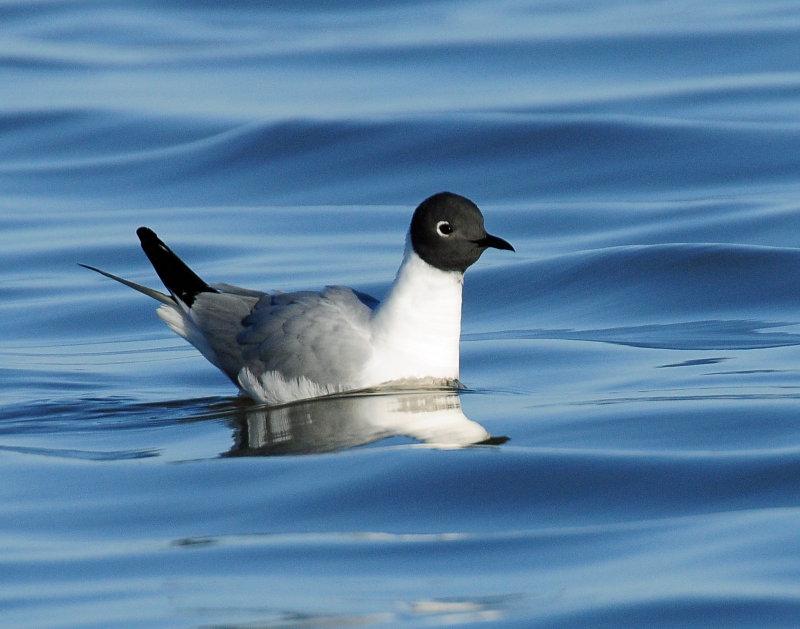 Gulls Bonapartes D-052.jpg