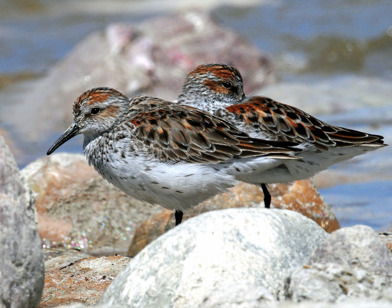 Sandpipers, Western