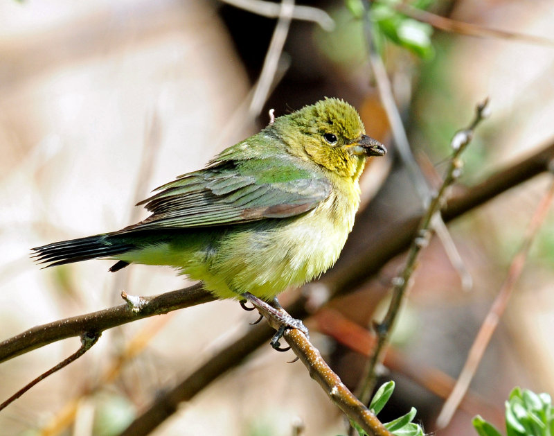 Bunting, Painted (Female, or 1st year male)