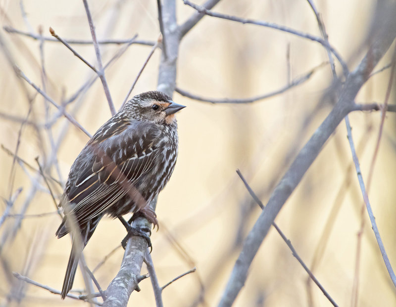 Ittero alirosse: Agelaius phoeniceus. En. Red-winged Blackbird - F -
