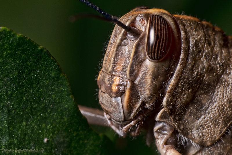 Egyptian grasshopper (Anacridium aegyptium)