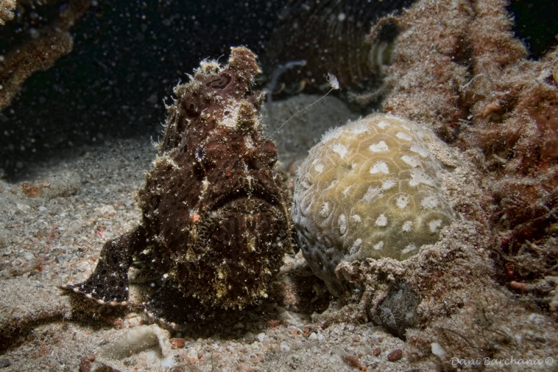 Commersons frogfish (Antennarius commerson )