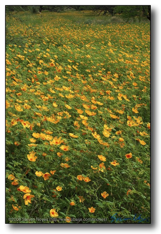 Arizona : Poppy Ocean