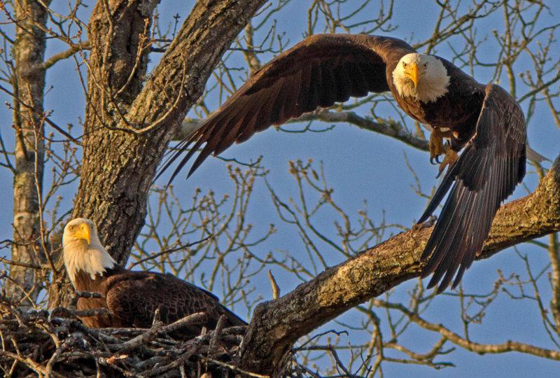 Eagles of Shiloh