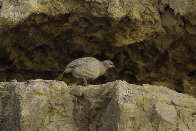 Sand Partridge.