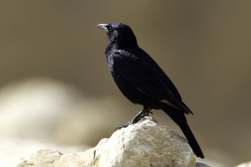 Tristrams Starling.