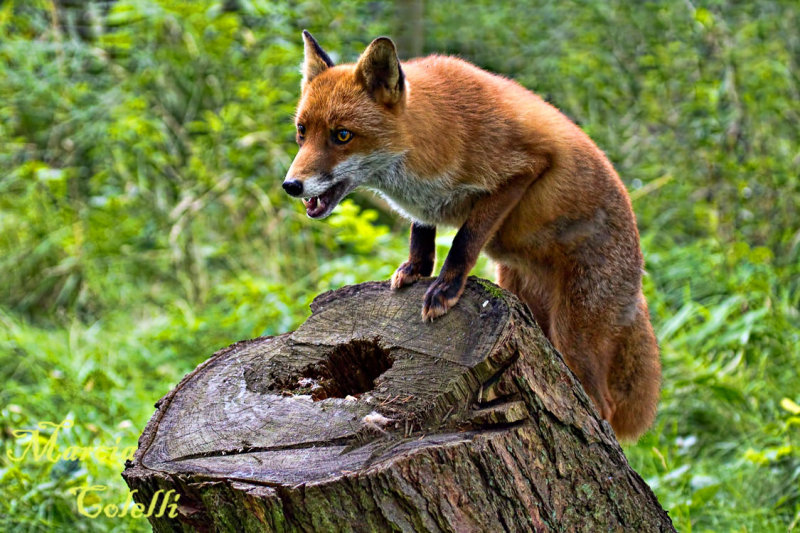 RED FOX_4794.jpg