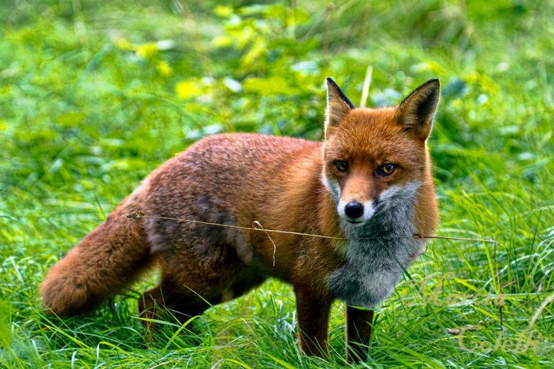 RED FOX_4805.jpg