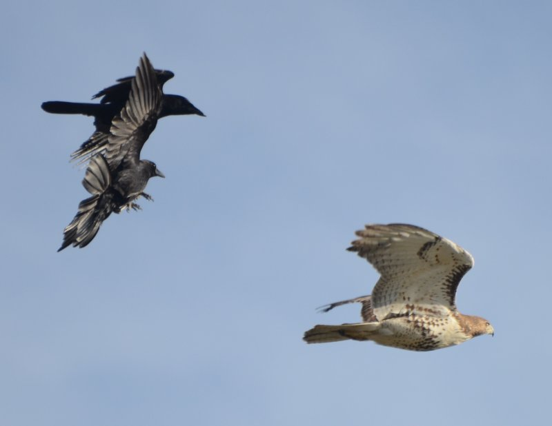 American Crows Chasing Red-tailed Hawk