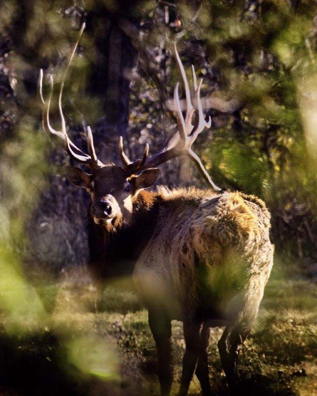 Royal Bull Elk Through the Leaves