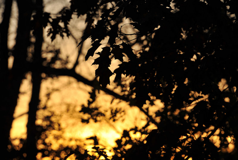 Sunset through the Oak Leaves