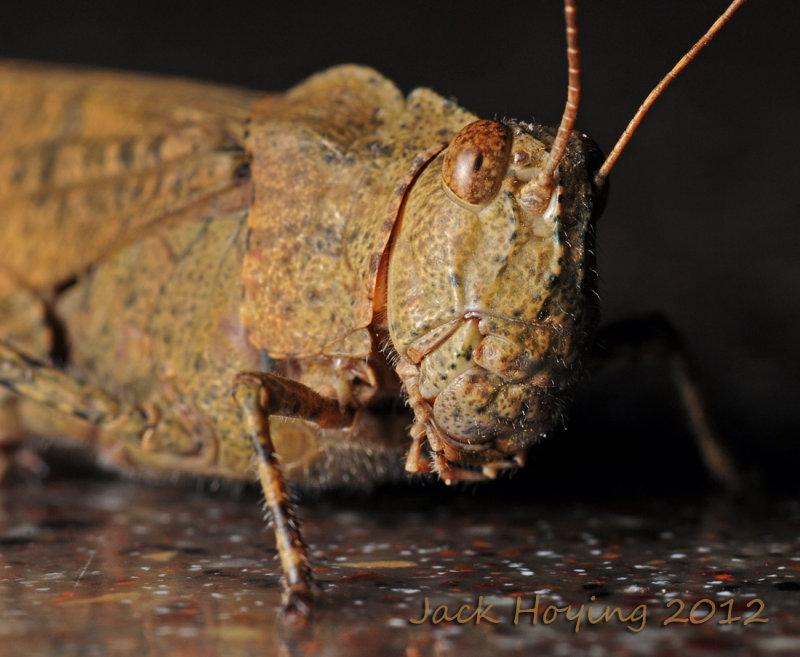 Grasshopper Up Close