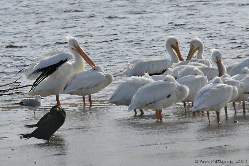 American White Pelicans & Double-crested Cormorant