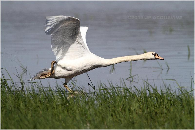 Cygne à lenvol - Swan take off.JPG