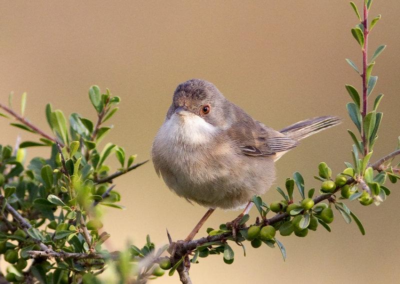 Sardinian Warbler-female