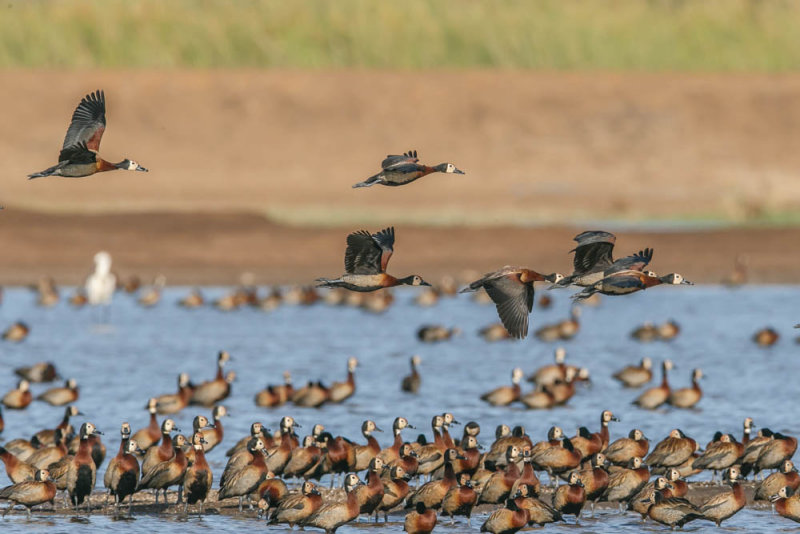 White-faced whistlingduck,witwangfluiteend