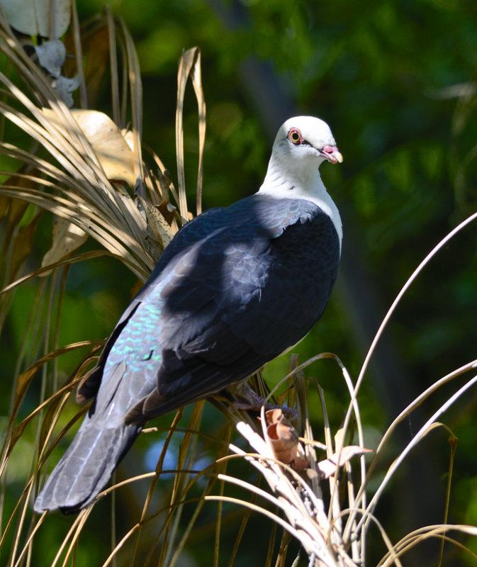 whiteheaded pigeon