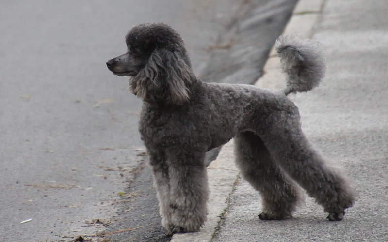 Nyfiken, observerande Roxie (det fanns en annan hund på andra sidan gatan)