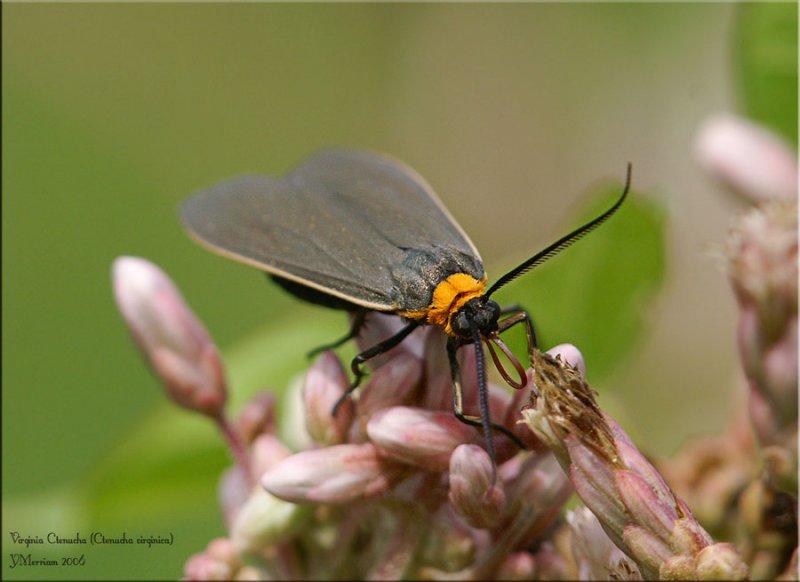 Cisseps fulvicollis - Yellow-collared Scape Moth - Hodges# 8267