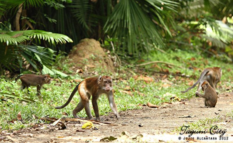 Wild  monkeys, Hijo Plantation Estate