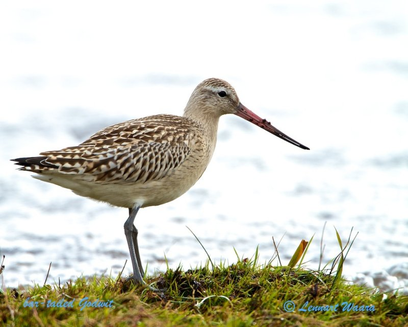Bar-tailed Godwit/Myrspov