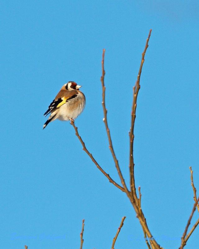 European Goldfinch/Steglits