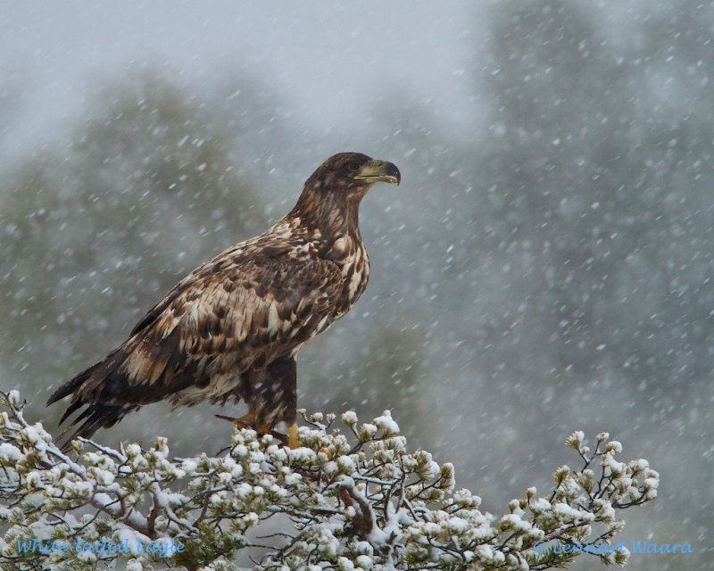 White-tailed Eagle/Havsörn in a pine during snow-fall.