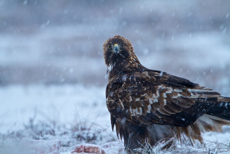 Golden Eagle/Kungsörn