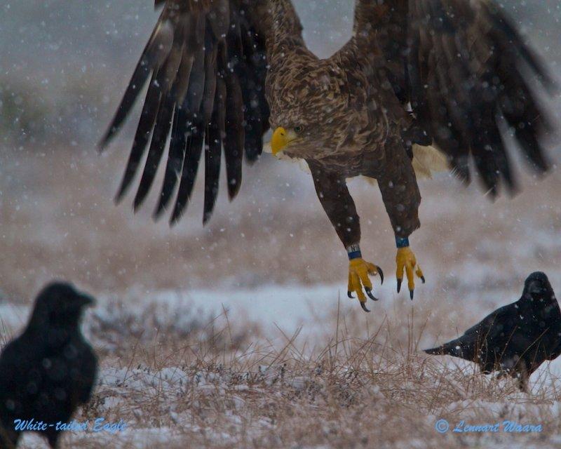 White-tailed Eagle/Havsörn