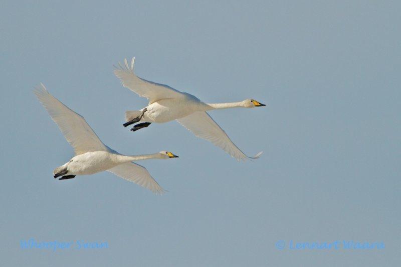 Whooper Swan/Sångsvan