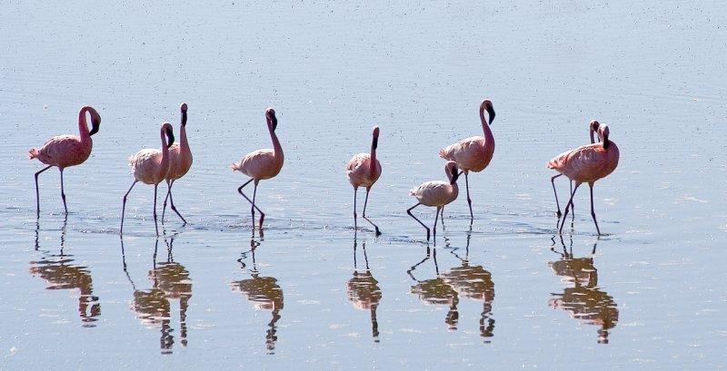 Flamingo parade