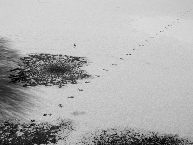 Racoon Tracks to a Carp Fishing Hole in the Frozen Japanese Pond