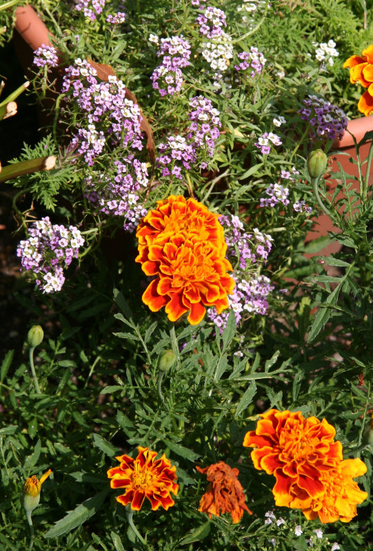 Marigolds & Alyssum
