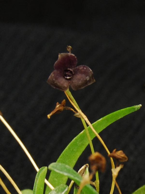 20124624 - Stelis uniflora  Laras Joy   CBR/AOS 11-8-2012  Close-up