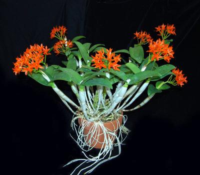 20132710  -   Guarianthe aurantiaca var. spotted  Kathleen  CHM/AOS  (86 - points)  3-9-2013.jpg