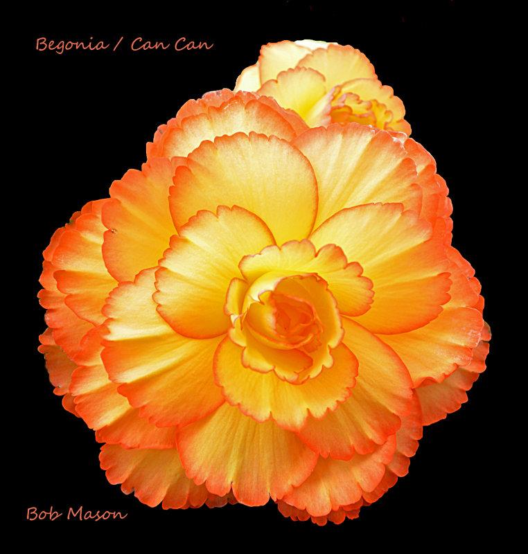 Begonias..New Season..2013...5