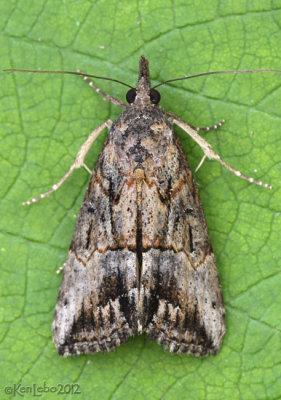 Green Cloverworm Moth Hypena scabra #8465