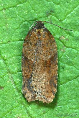 Acleris semiannula 3521 or stadiana 3521.1