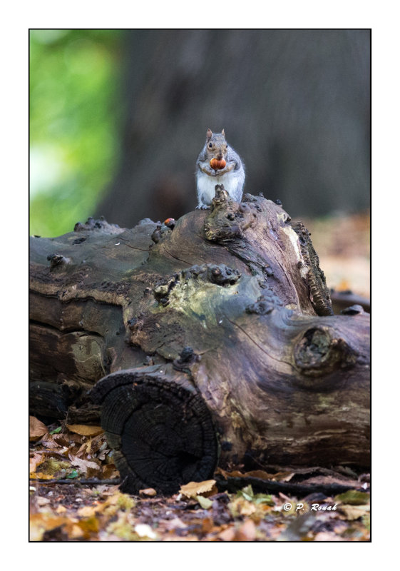 Gray squirrel with chestnut - 4126