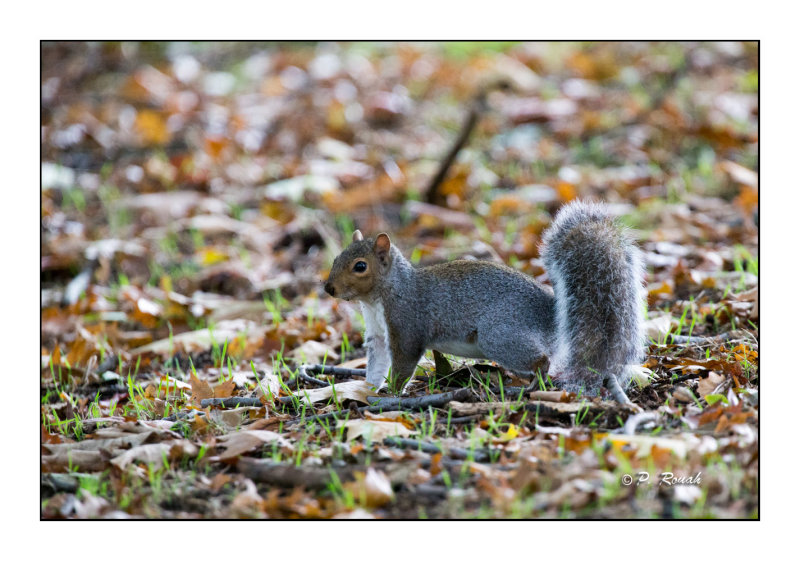 Richmond Parks squirrel - 3699