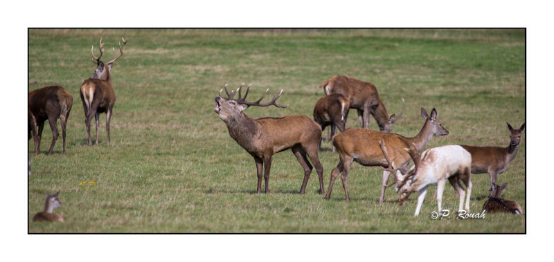 One of the herds at Richmond Park - 3436
