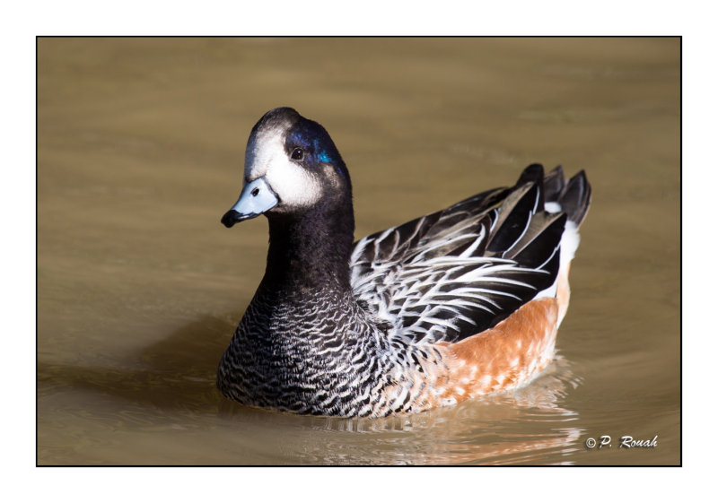 Novelty duck at Fontmerle - 4222