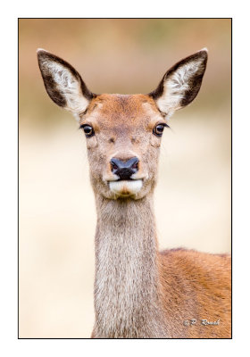 In the eyes of a deer - Richmond Park- 3710