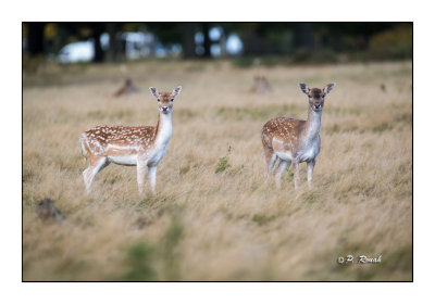 White tail deer - Daims - 3448