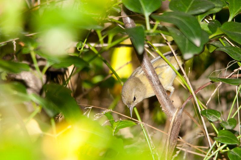 Orange Crown Warbler.jpg