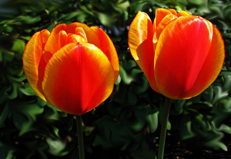 IMG_5639 Tulips