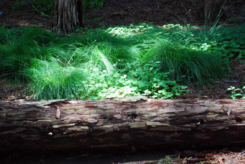 Coastal Redwoods5346.jpg
